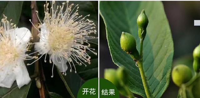 珍珠石榴正确的吃法,珍珠番石榴种植生长特性及栽培技术