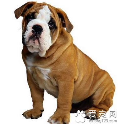 沙皮狗图片,沙皮狗好养么 具有很强的攻击性