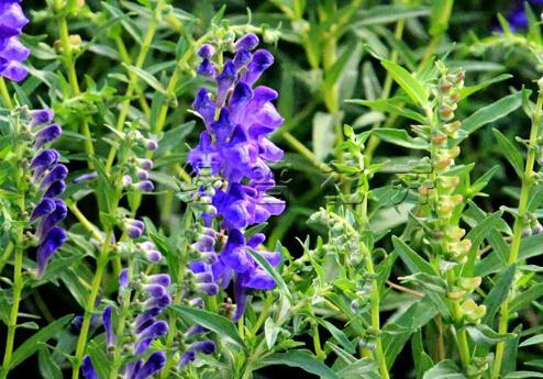 芩怎么读,黄芩的功效与作用,具有清热燥湿,泻火解毒,降血压等好处