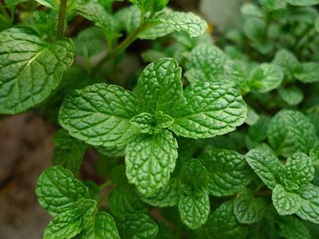 薄荷的吃法,别以为薄荷是一种野草,用好了就是一味良药!