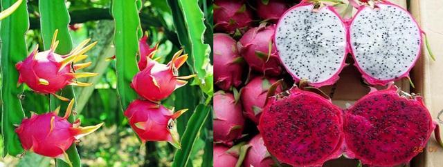 火龙果的各种吃法,这才是火龙果的正确吃法,这么多年都白吃了!