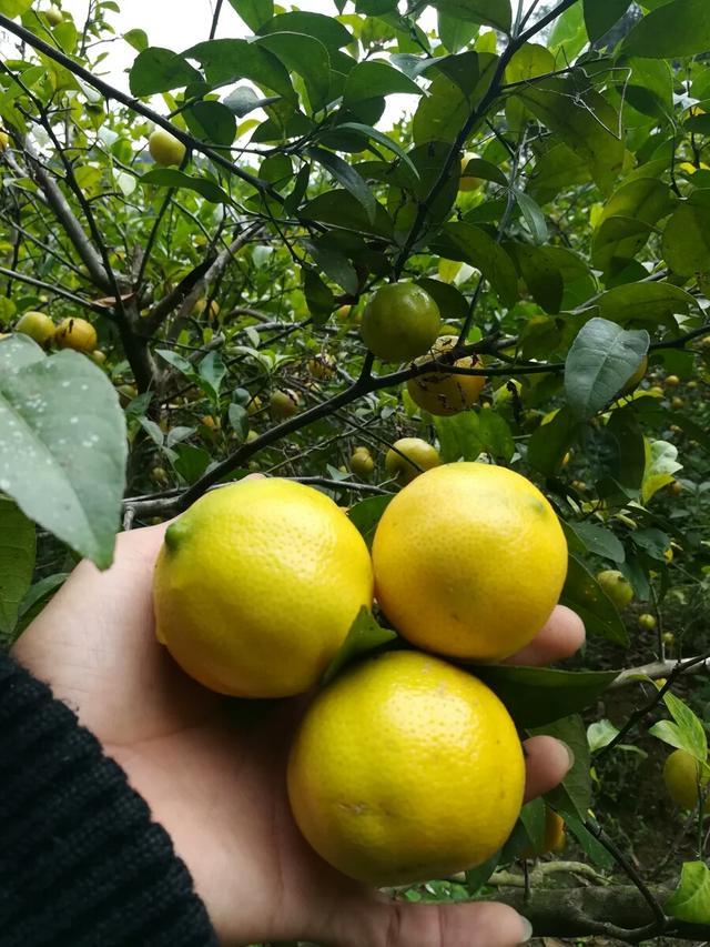 怎么做柠檬,广西咸酸柠檬的腌制方法