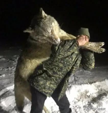 狼的简介,俄罗斯村庄惊现一头巨狼,体型比人大得多,20多头牛羊狗被袭击