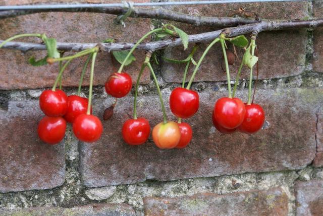有院子就要安排上的果树,好看又美味,大家喜欢种是有道理的