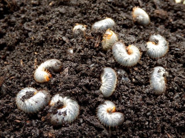 益虫有哪些,地下虫防治有技巧,选对药,蛴螬、蝼蛄、金针虫、根蛆一遍净!