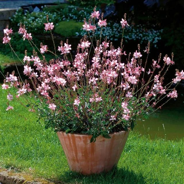 """1种夏季开花灿烂的观赏花卉,适合盆栽或地栽,西晒阳台也能种"""""""