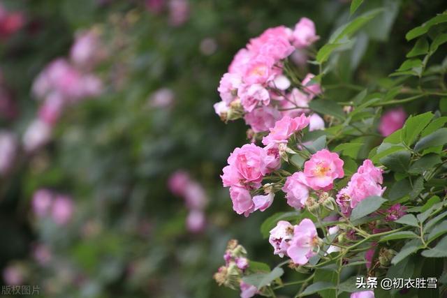 张的诗,李白三首蔷薇,不向东山久,蔷薇几度花