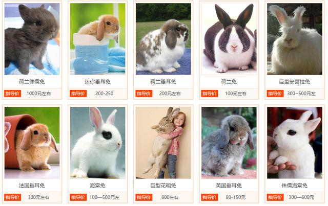 肉兔品种,第一期:养好宠物兔,你得先了解兔子的品种