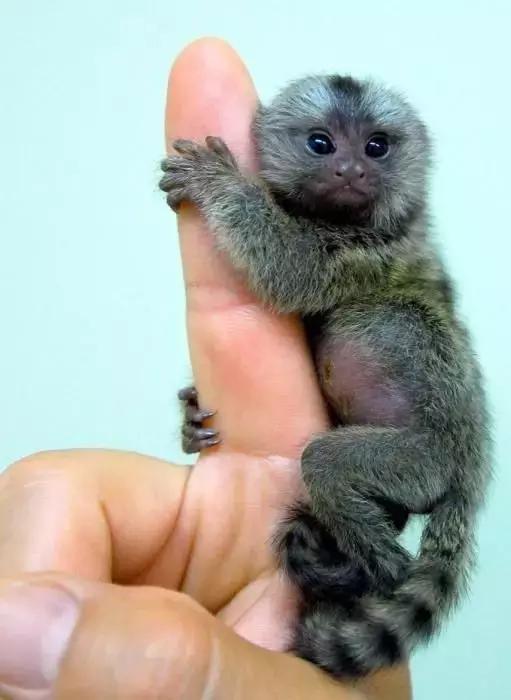 猴祝福语,手指小猴真可爱,从未见过!