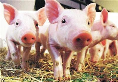 属猪财运,生肖猪怎么增加贵人运增加财运和权威