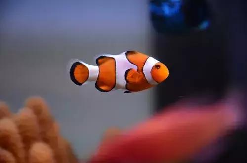 小丑鱼图片,小丑鱼:海葵丛中的小精灵