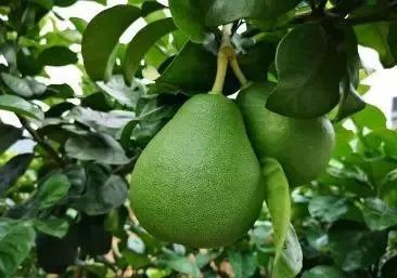 柚子品种,柚子的产地那么多,你心中最好吃的柚子是哪里的?