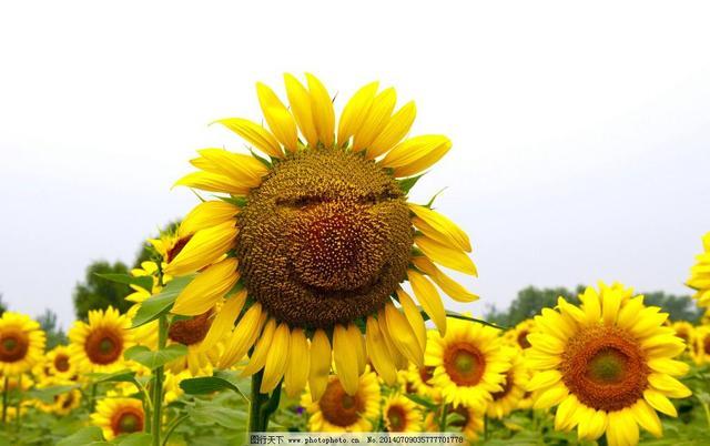 向日葵的特征,向日葵的功效主治