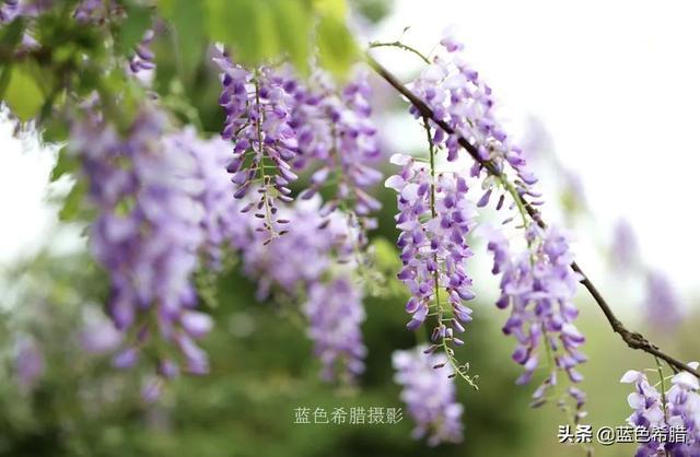 春天有哪些花,实拍34张春天的花卉照片,烂漫紫藤和清新绣球,你喜欢哪一种?