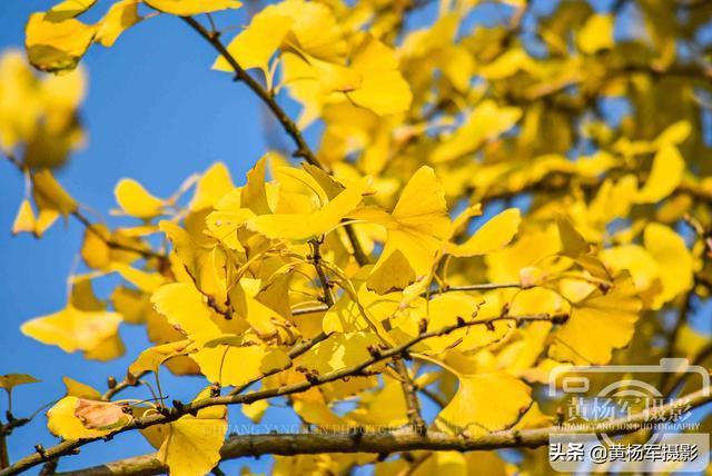 什么树叶像什么的句子,蓝天下金灿灿的银杏叶,阳光中浓艳的秋色格外美丽