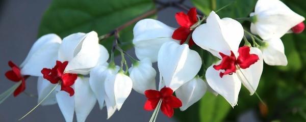 花卉龙吐珠,龙吐珠怎么养