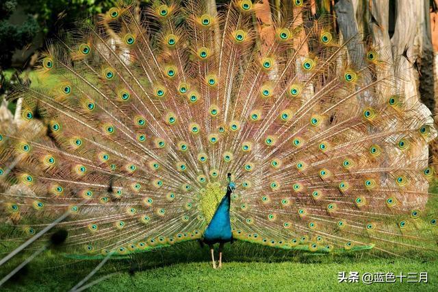 羽毛的寓意,2020年去了世界上最大的孔雀谷,看到孔雀开屏,寓意吉祥如意