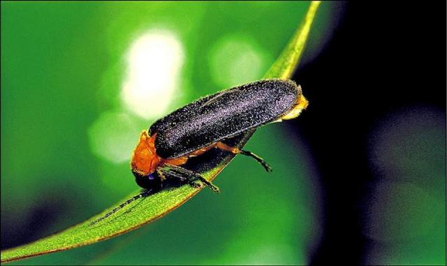 益虫有哪些,曾经在农村随处可见的萤火虫,如今为什么都不见了,它们去哪了?
