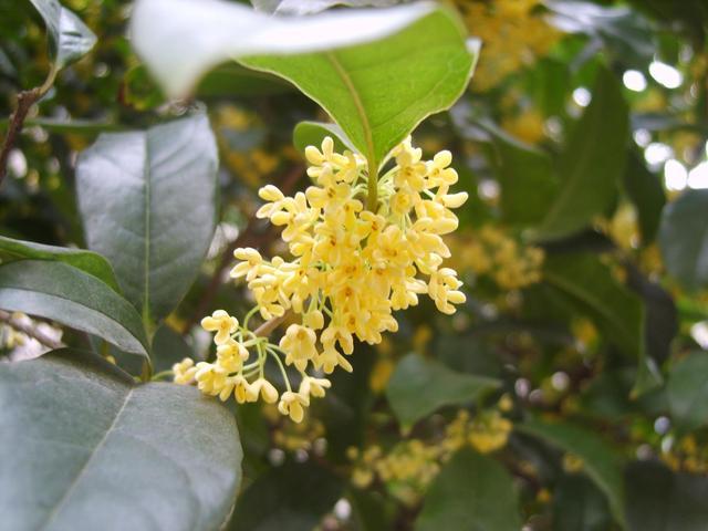 花卉网,适合院子里种的4种树,开花显富贵,寓意又吉祥
