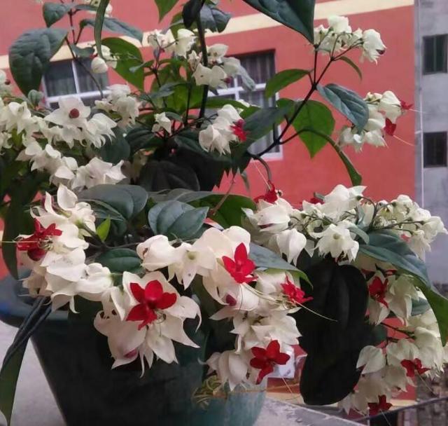 花卉龙吐珠,这种花样子真奇特,花蕊里含龙珠!开花上百朵,家里得祥瑞