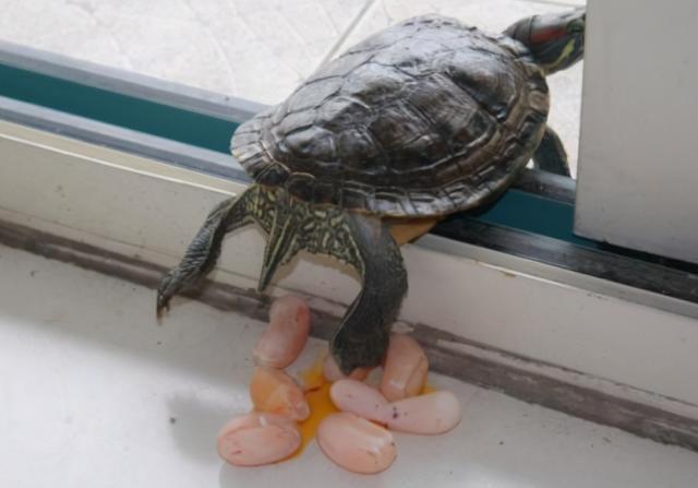 龟蛋的吃法,单身多年的乌龟下蛋了,主人拿锅煎来吃,几分钟后表示下不了口