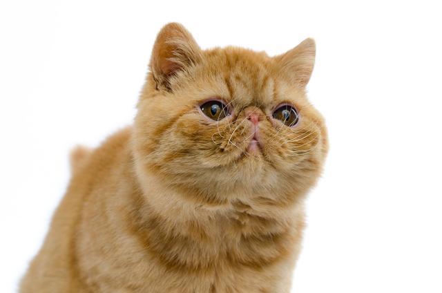 猫怎么看品种,从 0 开始学习品种猫的品相划分