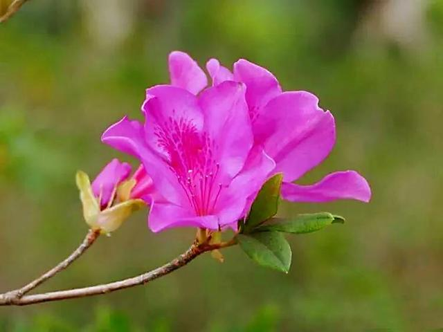 杜鹃花图片,芳菲四月,锦绣杜鹃盛放