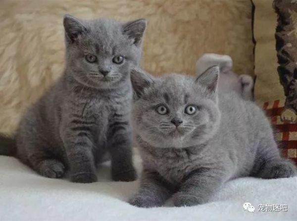 蓝猫是什么品种,超级萌宠:可爱捣蛋萌翻天,女生们最爱的宠物——英短蓝猫
