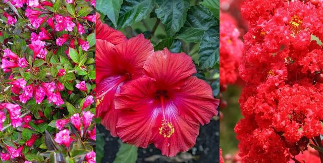 灌木有哪些,很是好看的8种红花灌木植物,有的适合盆栽,或养成院子里的花树