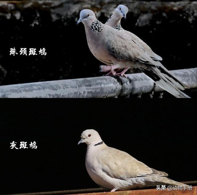 """斑鸠图片,被称为""""野鸽子""""的斑鸠,原来也可以这么漂亮!"""