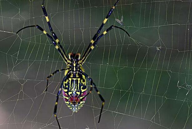 """蜘蛛的寓意,古人讲""""早报喜夜报财,正晌报客来"""",是啥动物?多数年轻人不知"""