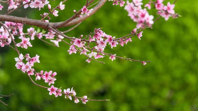 桃花的唯美句子,春到桃花水,飘然一叶舟。读古诗词,邂逅时光里的桃花流水