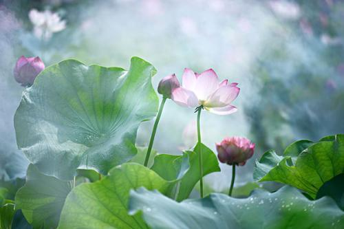 描写荷花的短句,关于莲花的那些优美句子