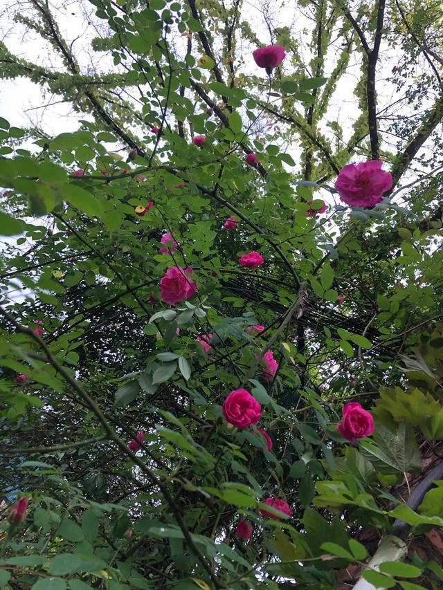 蔷薇寓意,蔷薇带来一路的芬芳
