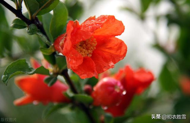 形容花的句子,生如夏花,立夏赏读六首石榴花诗,炎炎日正午,灼灼火俱燃