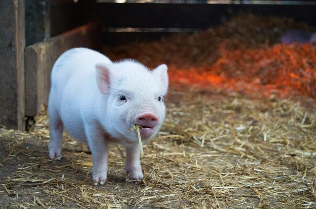 """金猪寓意,趣说""""猪""""字"""