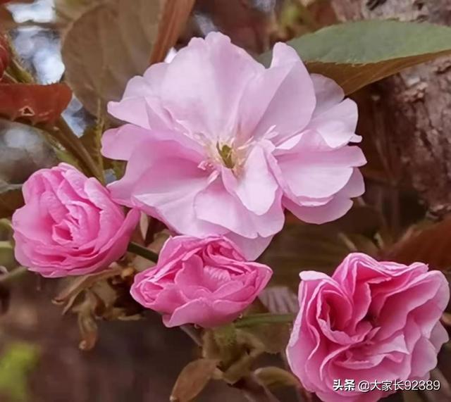 描写樱花的句子,七言:咏樱花