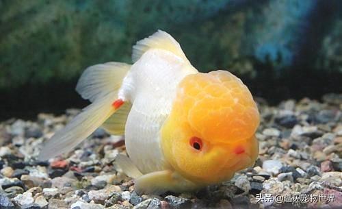 金鱼怎么养才能活,金鱼应该怎么养不容易死
