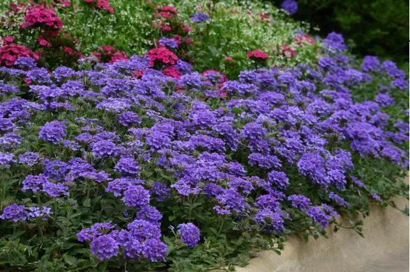 酷热难捱,偏偏这些花境新品种,气温越高越貌美