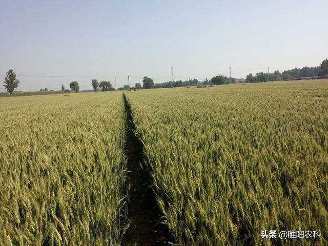 优良小麦品种,三连冠居第一位,国审最新小麦品种鑫麦296,平均亩产达1560斤