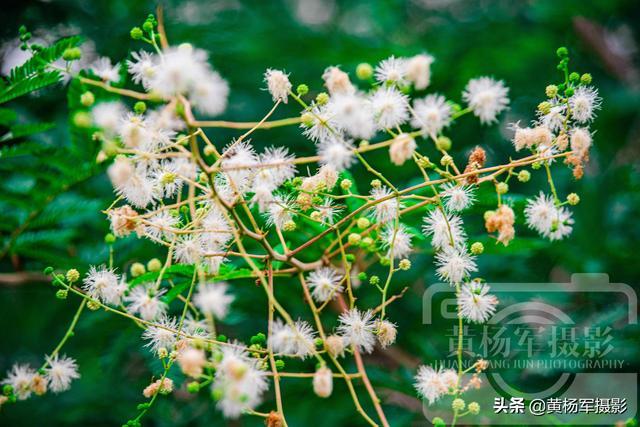 含羞草图片,夏日光荚含羞草花开的美,绿叶中洁白的花朵清新动人