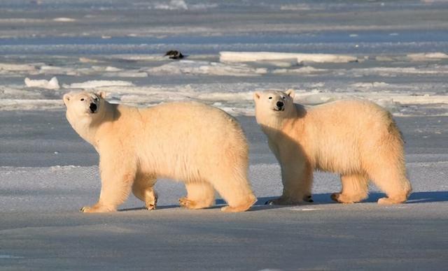冬眠的动物有哪些,为什么只有怀孕的北极熊能冬眠?冰封的雪地上雄性该如何狩猎?