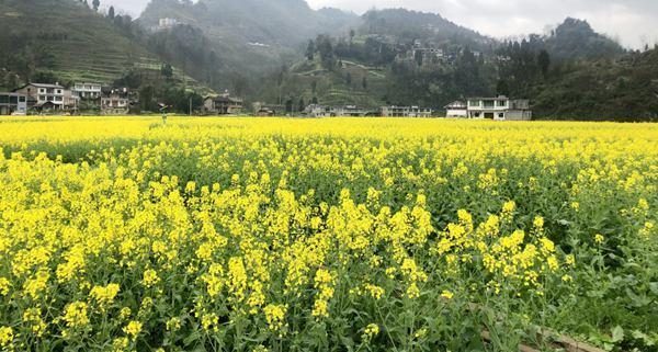 一句看油菜花的心情,习水县犁园村:满目金黄香百里 一方春色醉千山