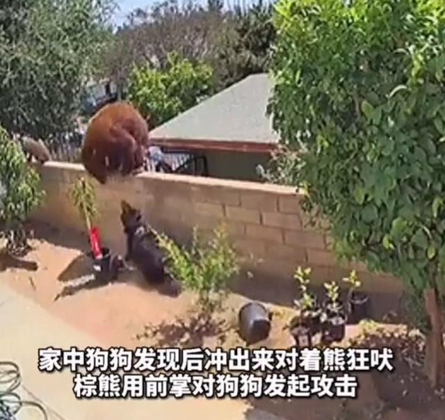 棕熊爬上围栏大战四家犬,美国女子一把将熊推下,网友:爱狗如命 全球新闻风头榜 第2张