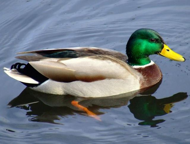 羽毛的寓意,鸭子羽毛为何防水?科学家成功探究其中奥秘并开发合成羽毛