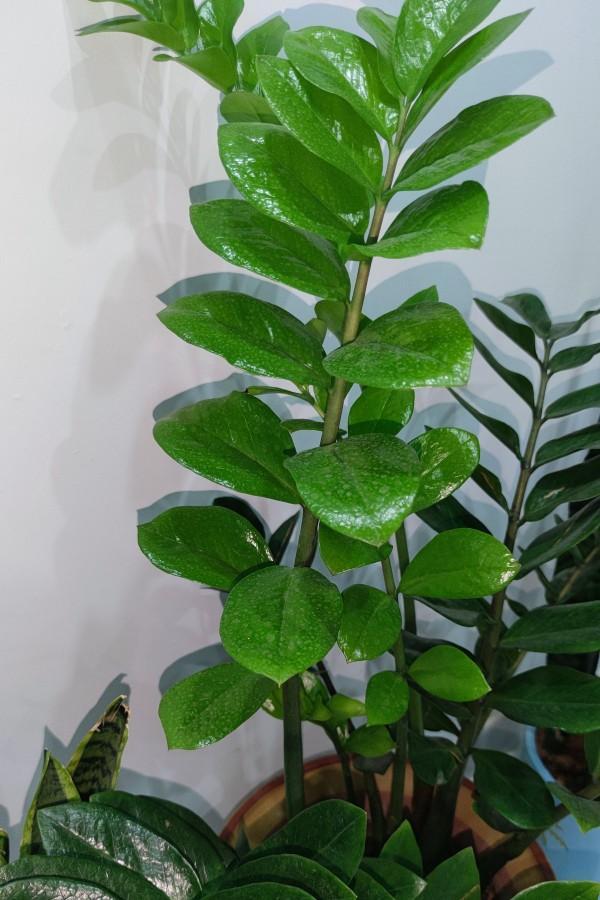 金钱树图片,金钱树爆盆,新枝翠绿透亮,高清图鉴