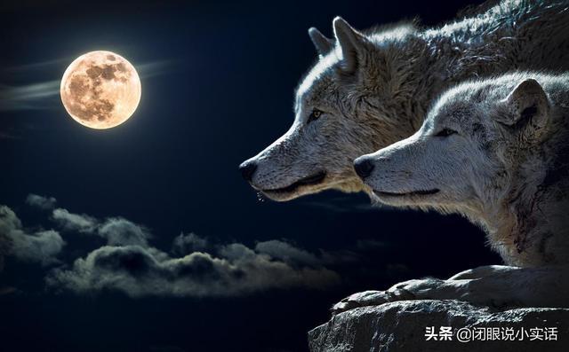 狼的简介,狼为什么能活在食物链顶端?揭秘狼的大智慧