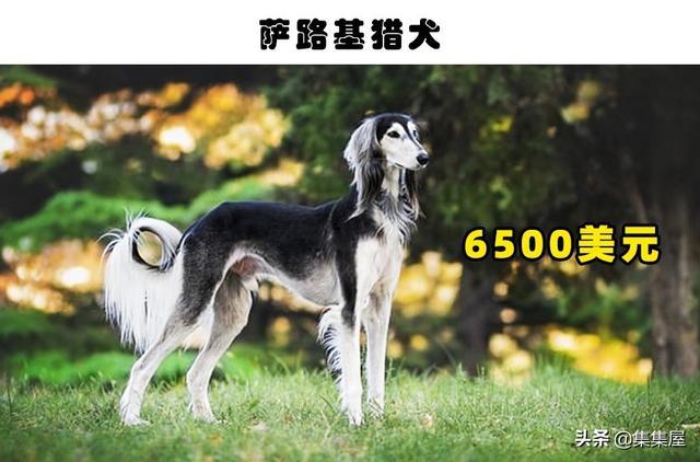 狗的品种图片,哪一类狗狗最贵?盘点世界上最昂贵的10种狗狗