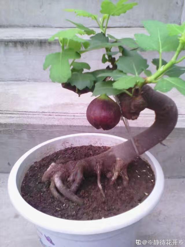"""种果树,不仅能结果,修剪好了还能做盆景"""""""