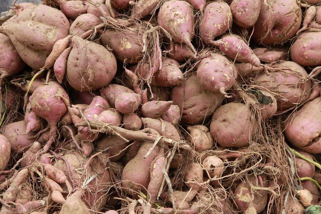 农谚有哪些,甘薯农谚早知道,甘薯才能种得好!这些农谚你都听过吗?